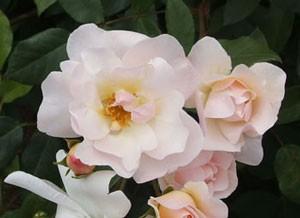 寒冷地や寒い環境だと花弁全体にピンク色が濃くなります