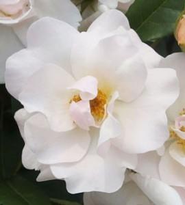 エルフはフロリバンダ系統のバラ