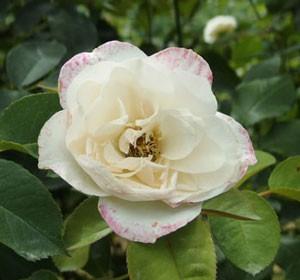 エマニュエルはシュラブ系統の大輪サイズのバラ