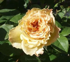 ツボミから開花初期の花色は茶色ですね