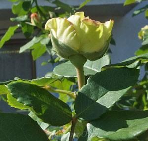 エメラルドアイルの一番の特徴である外弁が緑色なのです
