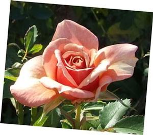 開花までは高芯咲きです。色合いもオレンジ色が強いアプリコットカラーですね