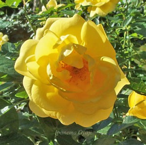 エミールノルデは丸弁カップ咲き