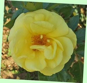 エミールノルデの花名はドイツの画家に因んでいる