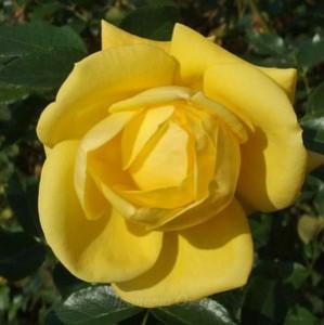 黄色の花色でフロリバンダ系統のバラ