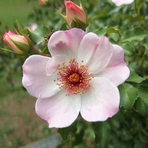 一重咲きで弁芯にローズ色のブロッチが入る