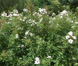 シュラブ樹形で夏以降はシュートの発生が多い