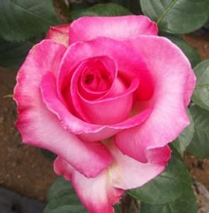 エスメラルダの花径は約10cm弁芯と弁端がより濃くなります