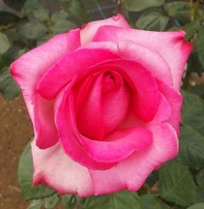 庭植えにすると鮮明な花色が花壇全体を引き立てますよ