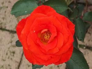 花色はオレンジ色から濃くなると橙色になる