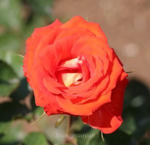 エスターオファリムはフロリバンダ系統のバラ
