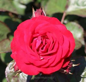 ユーロピアーナはフロリバンダ系統の中では大輪の花を咲かせます