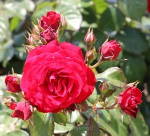 少し黒味がかった赤バラ