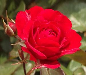 花枝は短くて赤味がかっているバラ