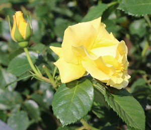 エバーゴールドは大輪咲きつるバラで花径は約8cm