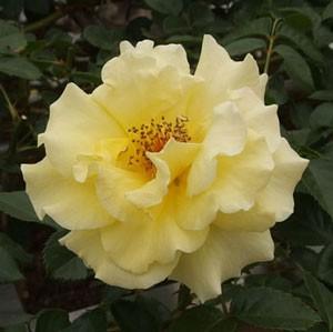 エバーゴールドの花が咲き進むと褪色しやすくなる