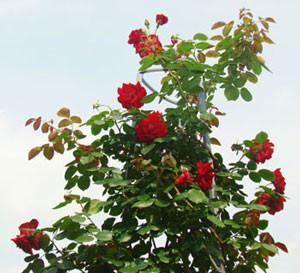 半剣弁平咲きの大輪花を咲かせます