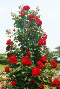 枝の伸長は250cm程で春の花後に花がらを摘み取ると返り咲く