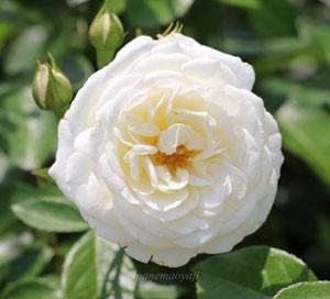 ファビュラス!の花形は丸弁平咲きです