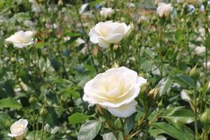 ファビュラス!は、四季咲き性です