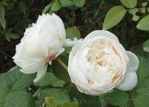 フェアー ビアンカはシュラブ系統のバラ