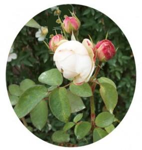 フェアー ビアンカは四季咲き性です