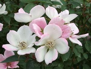 フェアリー ウィングスは花つき花もちがよいバラです