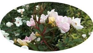 フェアリー ウィングスは白色のベースの弁芯が黄金色の美しい花