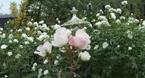 フェアリー ウィングスの樹形は直立性です