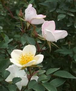 フェアリー ウィングスは四季咲き性です