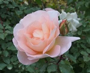 ファースト キッスは花径8cmの中輪花