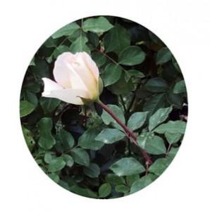 ファースト キッスは四季咲き性です