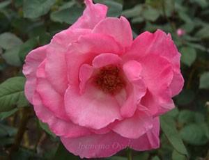 ファースト・フェデラルズ・ルネッサンスはピンク色のバラ
