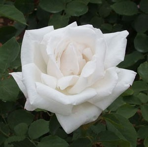 フラウ カール ドルシュキはつる性のバラ