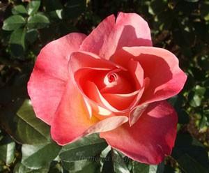 フラワー ガールはステムが長く切り花に適している