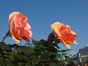 フレグラント アプリコットの花形は半剣弁抱え咲きです