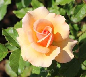 フレグラント アプリコットの花色は少し濃いめのアプリコット色です