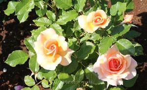 フレグラント アプリコットは数輪の房咲きになり花つきがよい
