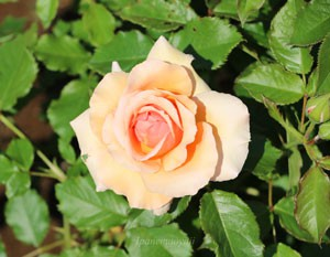 花色はアプリコットとオレンジ色の合わさった上品な花容です