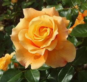 フレグラント アプリコットは四季咲き性です