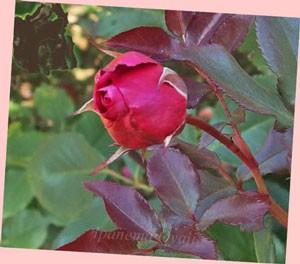 フランクリー スカーレットは半剣弁高芯咲きです