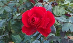 フランクリー スカーレットは四季咲き性です