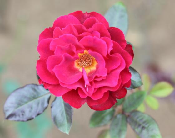 フランクリー スカーレットは早咲きで花もちがよい品種