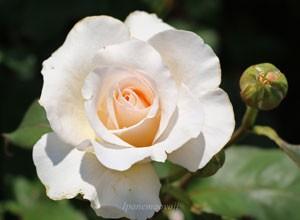フレンチ レースの花径は9cm程の中輪花です