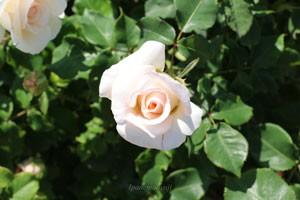 フレンチ レースの花色は淡い桃色を含むアイボリーカラーです