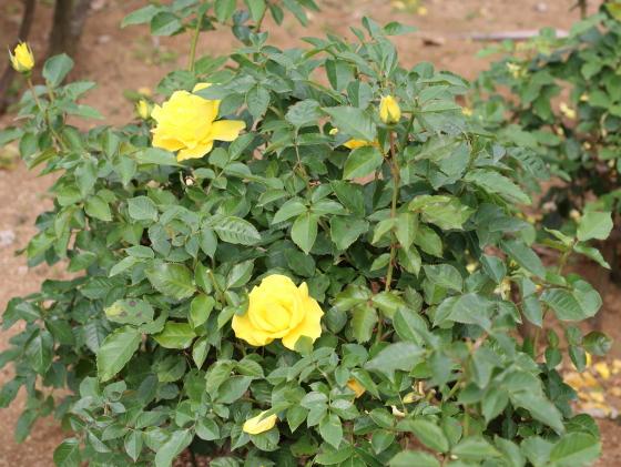 フリージアはフロリバンダ系統には珍しく香りの強い品種です