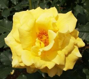 フリージアはフロリバンダ系統の中輪四季咲き性品種