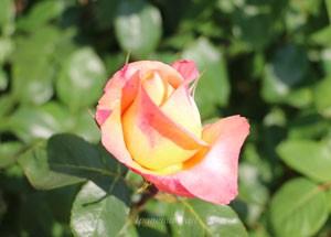 フロージン82の花形は半剣弁高芯咲き
