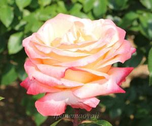 フロージン82は四季咲きです