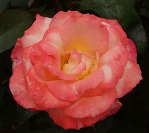 フロージン82はハイブリッドティー系統のバラです